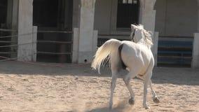 El caballo ?rabe corre Doha almacen de video