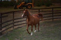 El caballo rojo está entrenando en el cordón Imagen de archivo