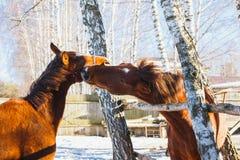 El caballo rojo muerde otro caballo en el juego Establo, día soleado imagen de archivo libre de regalías