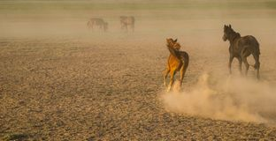 El caballo salvaje reúne el funcionamiento en la caña, kayseri, pavo foto de archivo