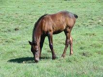 El caballo sin la cola come una hierba Foto de archivo libre de regalías