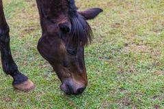 El caballo tailandés negro pasta la hierba en la granja Fotografía de archivo