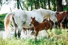 El caballo vino al r?o beber el agua fotografía de archivo