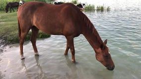 El caballo vino beber el agua del depósito metrajes