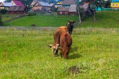 El caballo y la vaca pastan en un prado cerca del pueblo Imágenes de archivo libres de regalías