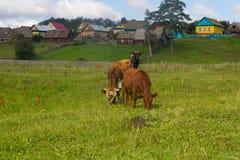 El caballo y la vaca pastan en un prado cerca del pueblo Fotografía de archivo libre de regalías