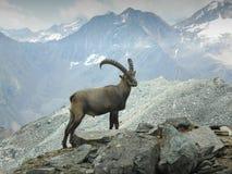 El cabra montés Fotos de archivo