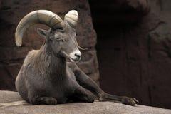 El cabra montés alpestre imagen de archivo libre de regalías