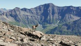 El cabra montés femenino se encaramó en la roca que miraba la cámara con las montañas francesas italianas en el fondo almacen de video