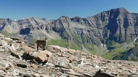 El cabra montés femenino se encaramó en la roca que miraba la cámara con las montañas francesas italianas en el fondo almacen de metraje de vídeo