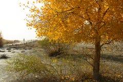 El cabrero en bosque del euphratica del populus Imagenes de archivo