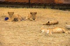 El cachorro de tigre, los pequeños ligers y los leones duermen en la hierba en la suma imagenes de archivo