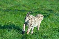 El cachorro del guepardo se ejecuta lejos Foto de archivo libre de regalías