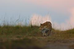 El cachorro del leopardo le gusta cazar en la puesta del sol en Masai Mara, Kenia Fotografía de archivo libre de regalías