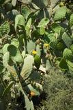 El cactus cubrió la ladera, flores amarillas, tierra seca, al aire libre Foto de archivo libre de regalías