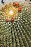 El cactus de Biznaga con el flor de la flor Imagen de archivo