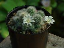 El cactus de Mammilaria que se produce en pequeños potes puede florecer fotografía de archivo