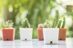 El cactus del primer en el pote plástico blanco en la tabla mable en delante de casa con la opinión borrosa del jardín texturizó  Imagenes de archivo