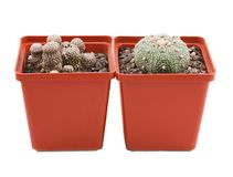 El cactus dos en un soporte del pote de lado a lado en un blanco aisló el fondo Fotos de archivo libres de regalías