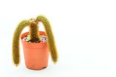 El cactus Dos-ramificado Foto de archivo