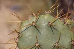 El cactus espinoso de la Opuntia con las espinas se cierra encima del papel pintado foto de archivo