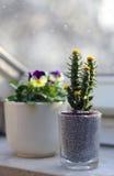 El cactus está creciendo en la ventana en el pequeño pote Fotografía de archivo