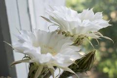 El cactus florece blanco imagen de archivo