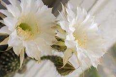 El cactus florece blanco imágenes de archivo libres de regalías
