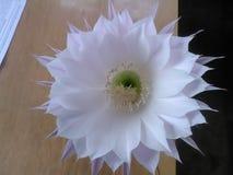 El cactus floreciente fotos de archivo libres de regalías