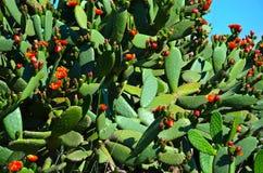 El cactus floreciente Foto de archivo