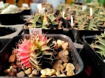 El cactus hermoso en el precio de piedra de los potes es el baht 200 fotografía de archivo