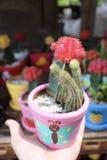 El cactus lindo en mi jardín, cactus rojo es hermoso imagen de archivo libre de regalías