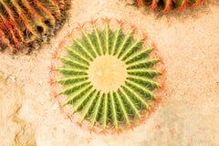 El cactus minúsculo circular Fotografía de archivo