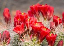 El cactus rojo de la taza de clarete florece con una pequeña consumición borrosa anaranjada una de la oruga de las flores Imágenes de archivo libres de regalías