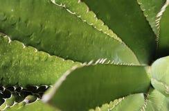 El cactus sale de perspectiva Imagen de archivo