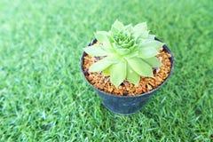 el cactus subió Imagen de archivo