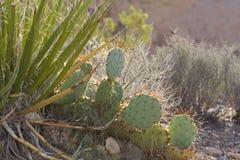 El cactus y el otro barranco rojo de la roca de la vegetación del desierto Foto de archivo libre de regalías