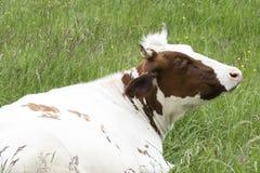 El caer blanca de Brown de la vaca Fotos de archivo libres de regalías