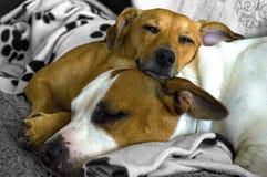 El caer cariñosa preciosa de los perros dormido Foto de archivo