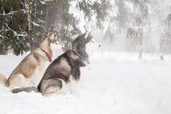 El caer de la nieve de los perros Invierno Perro esquimal del bosque Fotos de archivo
