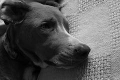 El caer del perro dormido en la manta en blanco y negro Foto de archivo