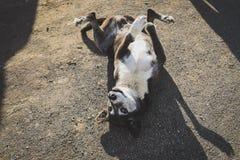 EL CALAFATE, ARGENTINA: Amore volente del cane che si trova sul pavimento Fotografia Stock Libera da Diritti