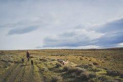 EL CALAFATE, ARGENTINA: Equitação do homem com seus cães Imagem de Stock
