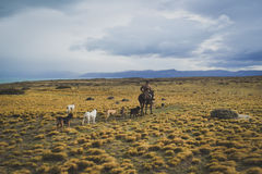 EL CALAFATE, ARGENTINA: Man riding with his dogs. EL CALAFATE, ARGENTINA: Man riding with his dogs in Argentine Patagonia Stock Photo