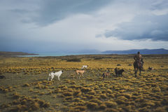EL CALAFATE, ARGENTINA: Man riding with his dogs. EL CALAFATE, ARGENTINA: Man riding with his dogs in Argentine Patagonia Stock Images