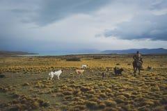 EL CALAFATE, ARGENTINA: Manridning med hans hundkapplöpning Arkivbilder
