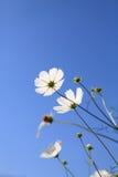 El Calliopsis blanco fotografía de archivo libre de regalías