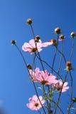 El Calliopsis rosado foto de archivo libre de regalías