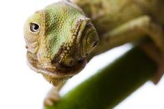 El camaleón Imágenes de archivo libres de regalías
