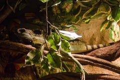 El camaleón Imagen de archivo
